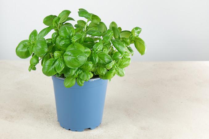 come coltivare basilico vaso, come coltivare basilico