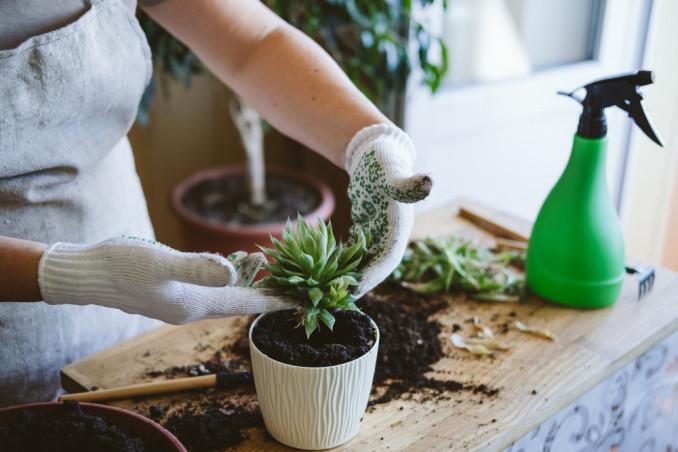 come rinvasare piante grasse, rinvaso piante grasse,come trapiantare piante grasse